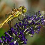 Insekten-Fotos Limbach-Oberfrohna mit der Sony Alpha 77II und dem Tamron 90